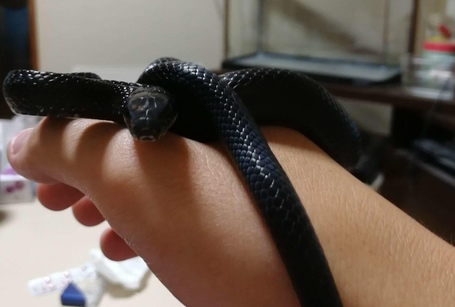 ハンドリングされてるカラスヘビ