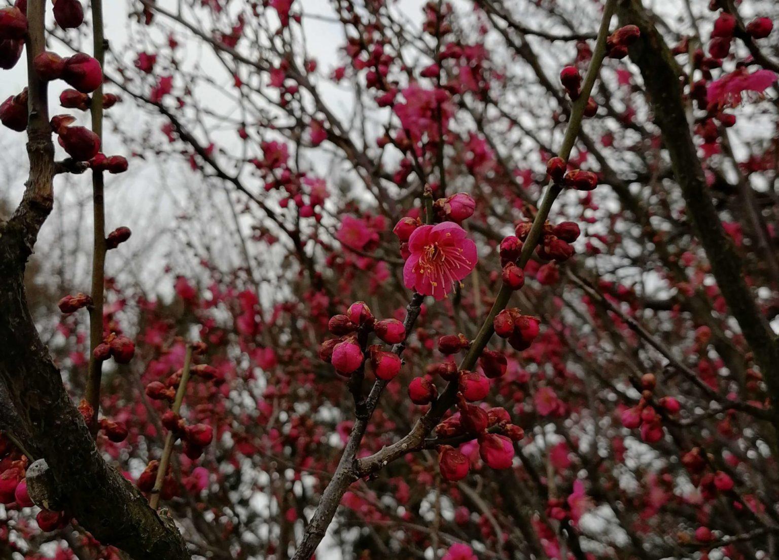 芽吹き始めた梅の木