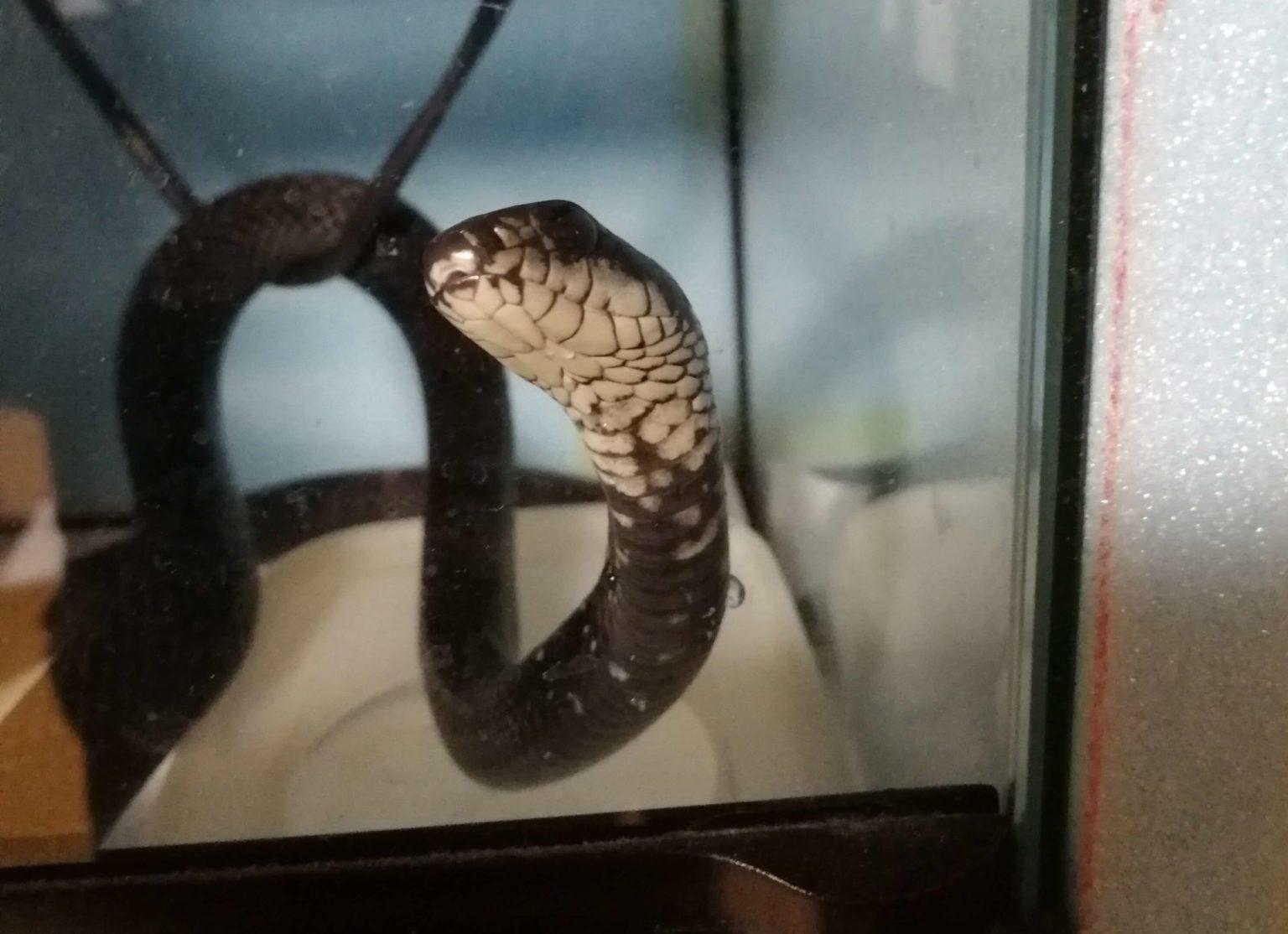 偏食中のカラスヘビ