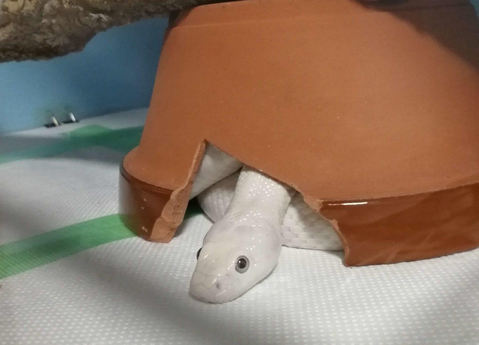 上目遣いな白ヘビ