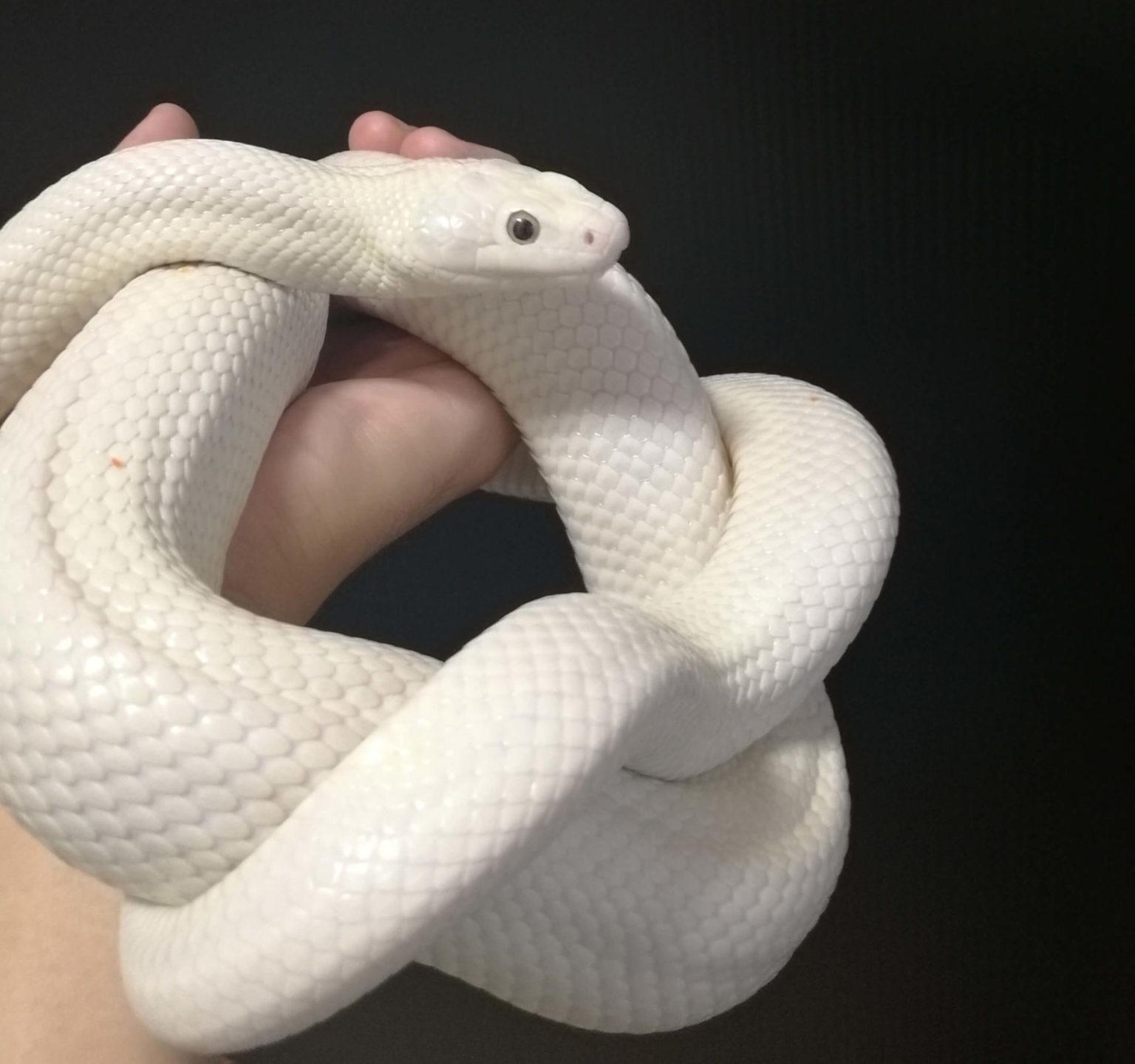 ハンドリングに落ち着く白ヘビ